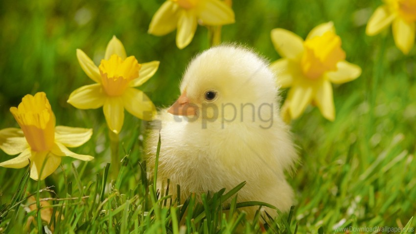 free PNG chicken, grass, lie, poultry wallpaper background best stock photos PNG images transparent