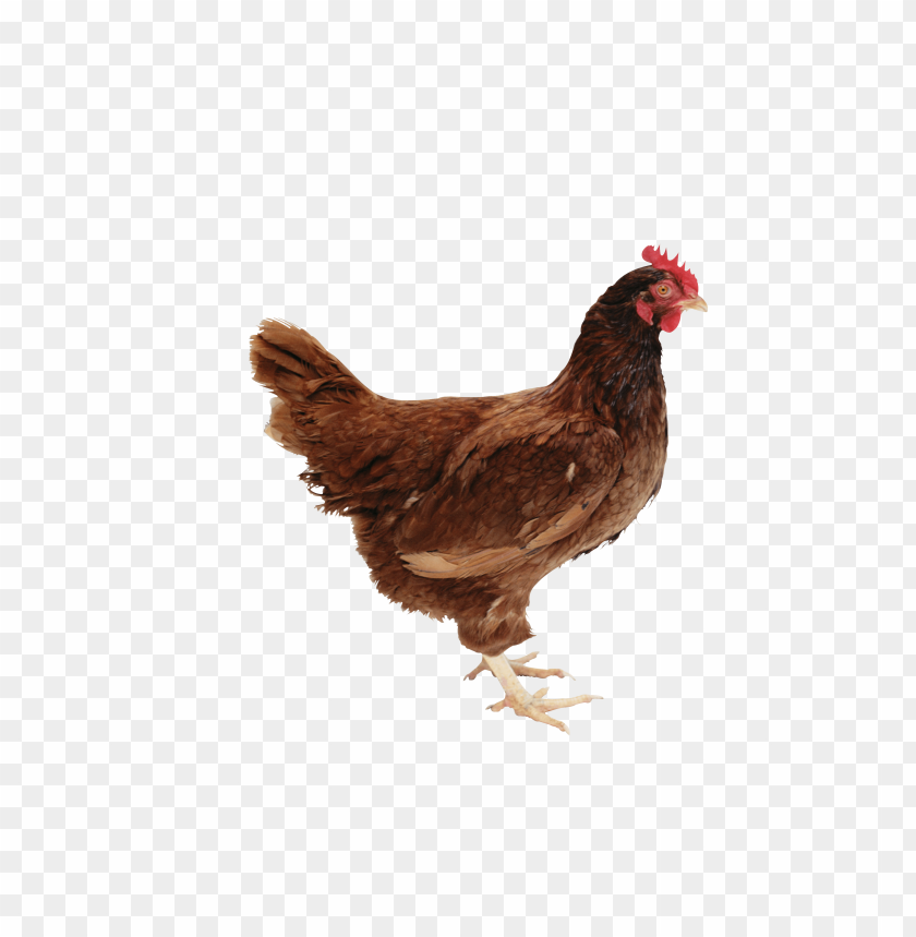 free PNG Download chicken standing png images background PNG images transparent