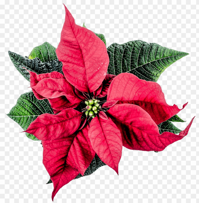 free PNG Christmas Poinsettia Flower png - Free PNG Images PNG images transparent