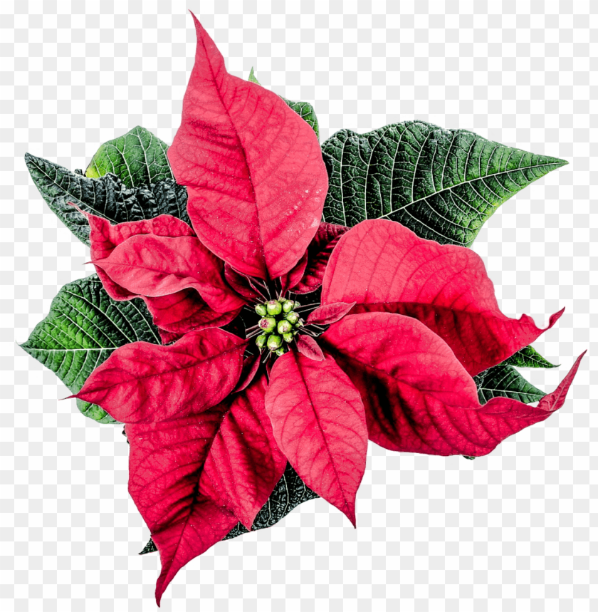 free PNG Download christmas poinsettia flower png images background PNG images transparent