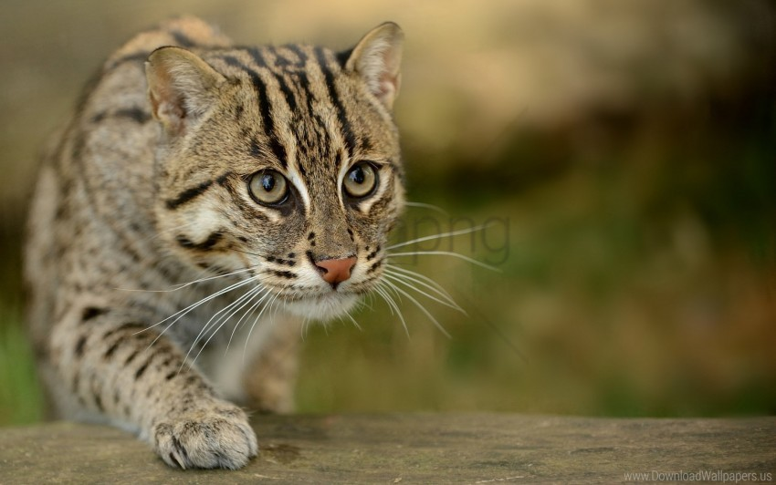 free PNG civet cat, fishing cat, fishing cat asian, view, wild wallpaper background best stock photos PNG images transparent