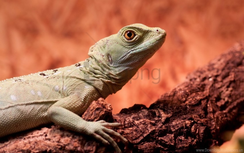 free PNG climbing, lizard, tree wallpaper background best stock photos PNG images transparent