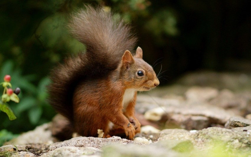 climbing, rocks, squirrel, tail wallpaper background best stock photos@toppng.com
