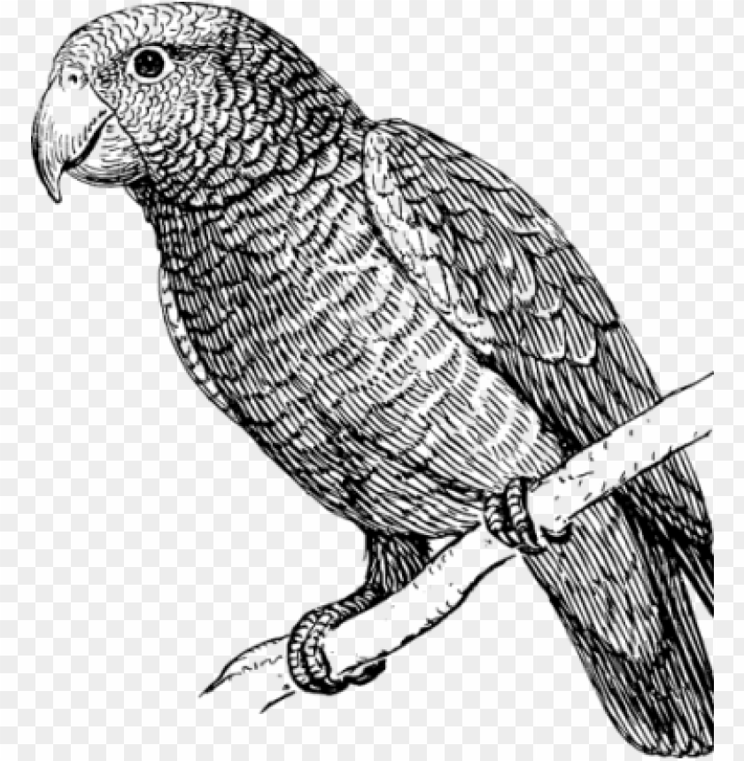 free PNG clipart freeuse stock how to draw a parrot art instructions - parrot bird black and white PNG image with transparent background PNG images transparent