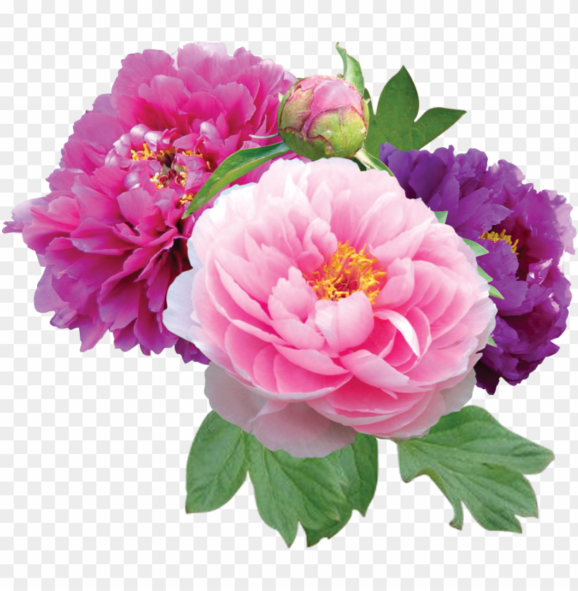 free PNG clipart - peonies PNG image with transparent background PNG images transparent
