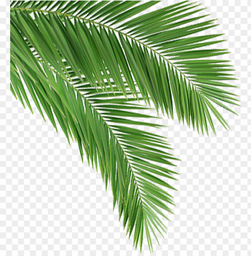 free PNG coconut leaf png - coconut tree leaves PNG image with transparent background PNG images transparent