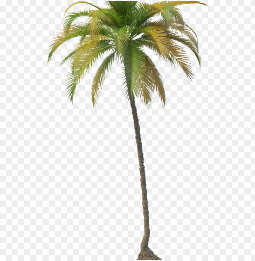 free PNG coconut tree - coconut tree PNG image with transparent background PNG images transparent