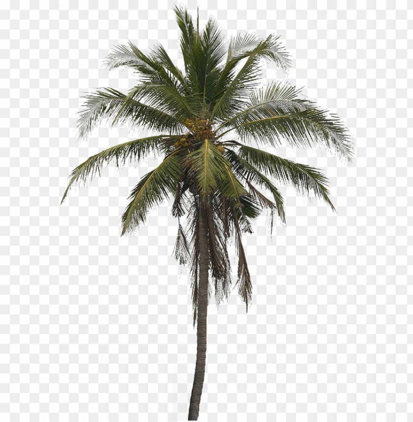 free PNG coconut tree images transparent - coconut tree png free download PNG image with transparent background PNG images transparent