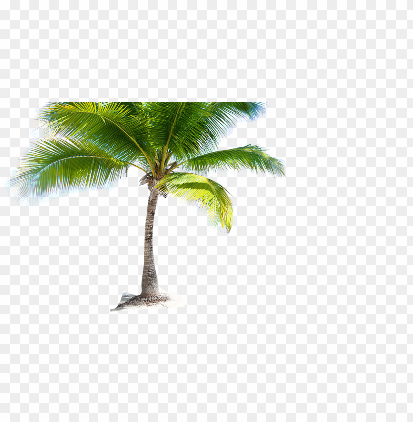 free PNG coconut tree png picture - hd coconut tree PNG image with transparent background PNG images transparent