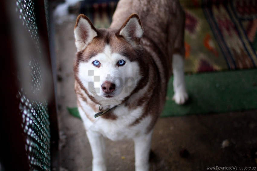 free PNG collar, dog, eyes, husky, muzzle wallpaper background best stock photos PNG images transparent