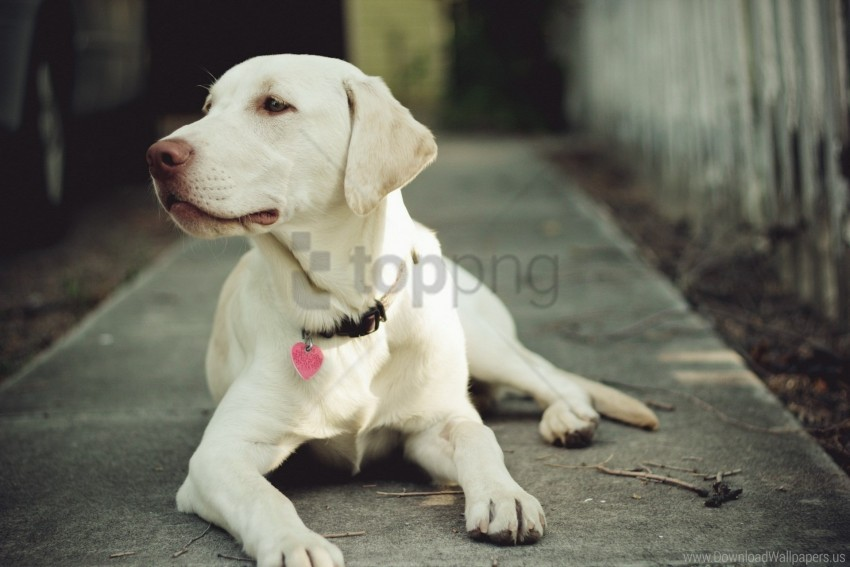 free PNG collar, dog, eyes, muzzle wallpaper background best stock photos PNG images transparent