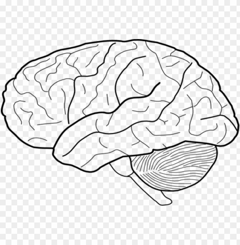free PNG coloring trend medium size printable brain template - human brain drawi PNG image with transparent background PNG images transparent