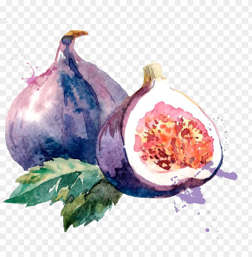 free PNG common fig watercolor painting drawing illustration - fig watercolor PNG image with transparent background PNG images transparent