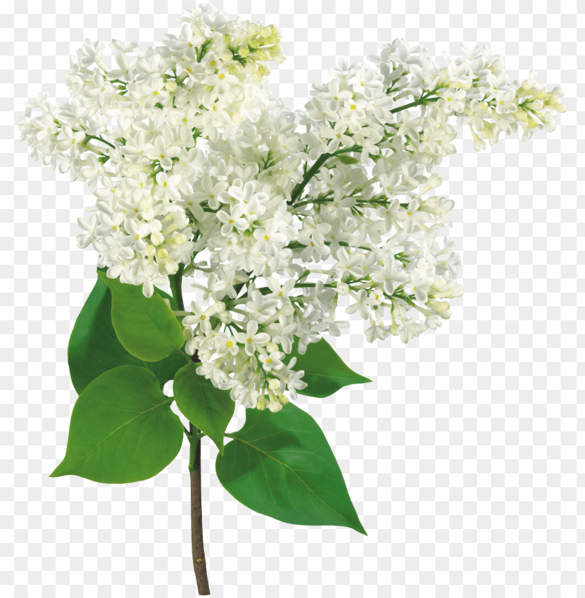 free PNG común lila rama de la luz arbusto - mother's day, grandma - lilac flowers card PNG image with transparent background PNG images transparent