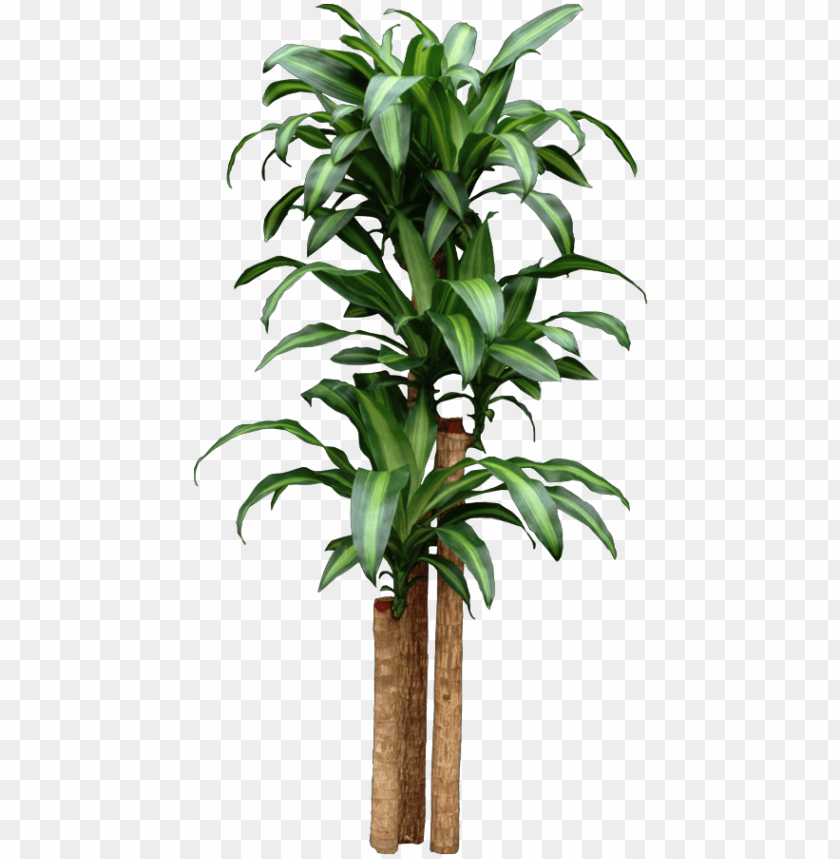 free PNG corn dracaena getting too tall start new plants by - home depot tropical house plants PNG image with transparent background PNG images transparent