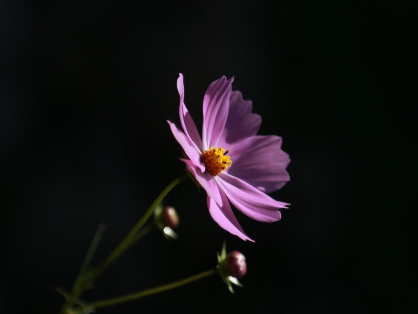 free PNG cosmos, flower, lilac, blooms, dark background background PNG images transparent