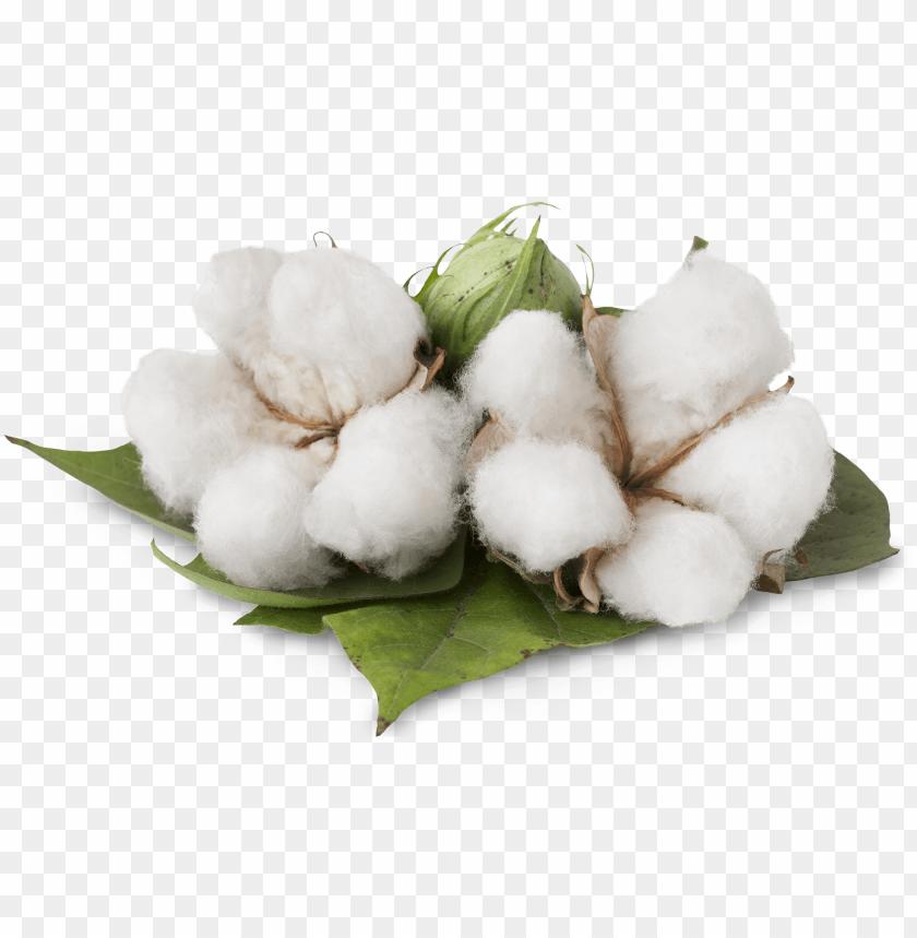 free PNG cotton cotton - benefits of cotton plant PNG image with transparent background PNG images transparent