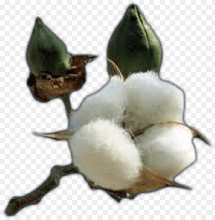 free PNG cotton free png image - cotton plant coloring page PNG image with transparent background PNG images transparent