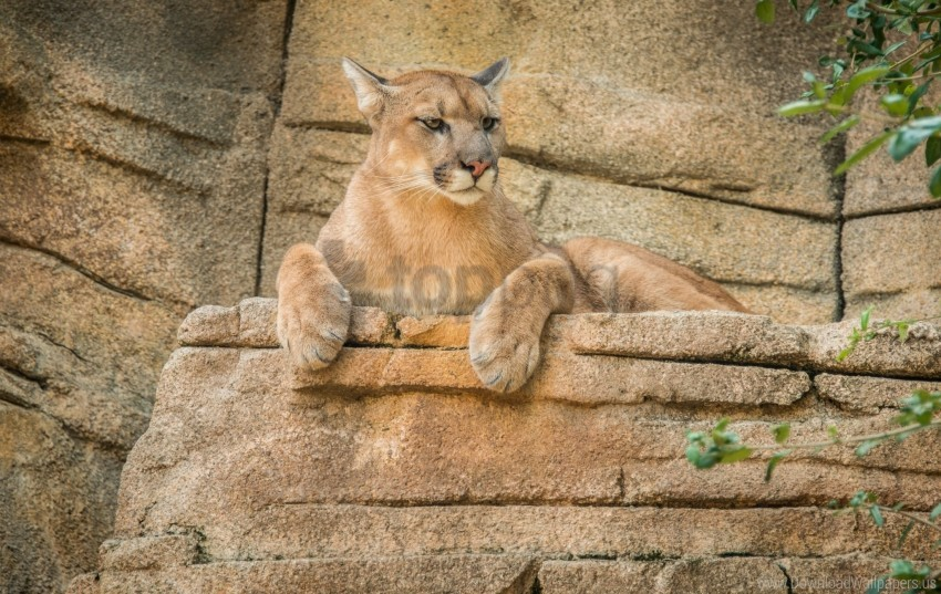 Cougar Mountain Lion Puma Wallpaper Background Best Stock Photos
