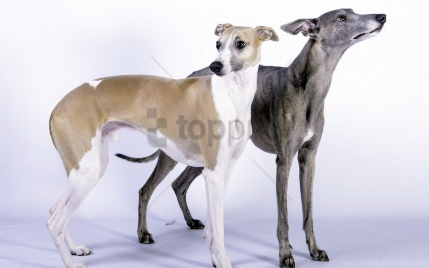 free PNG couple, dogs, sizes wallpaper background best stock photos PNG images transparent