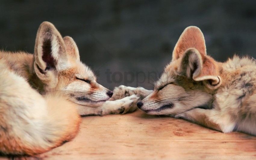 free PNG couple, down, dream, face, fennec fox, fox wallpaper background best stock photos PNG images transparent
