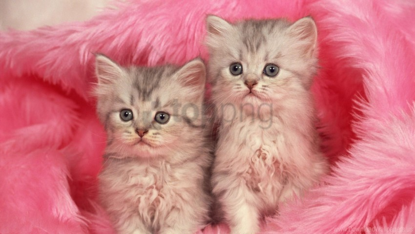 free PNG couple, fur, furry, kittens wallpaper background best stock photos PNG images transparent