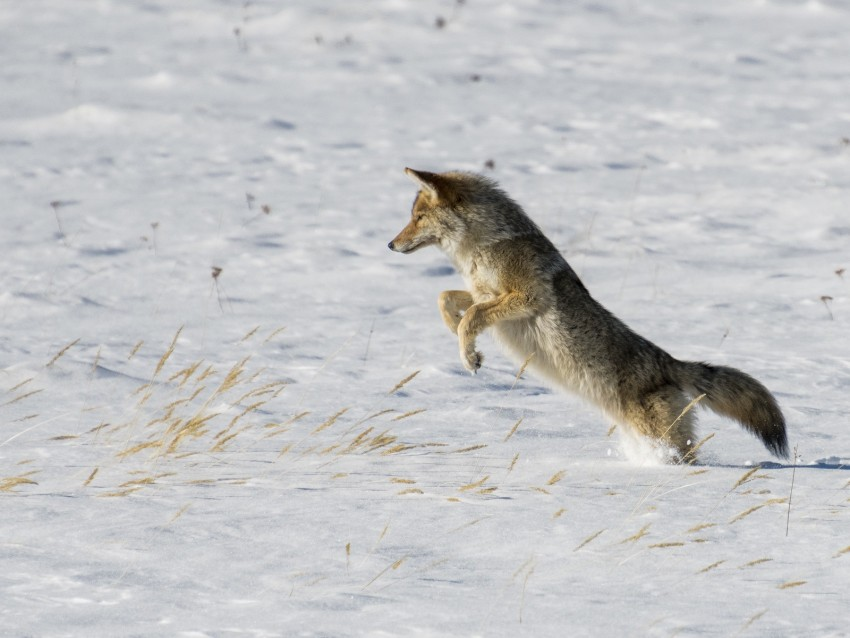 free PNG coyote, jump, hunting, snow, predator, wildlife background PNG images transparent