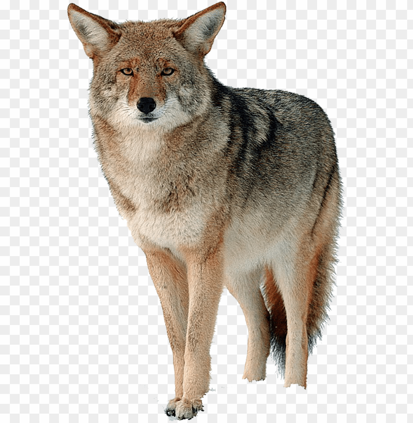 free PNG coyote png free download - canada goose fur PNG image with transparent background PNG images transparent