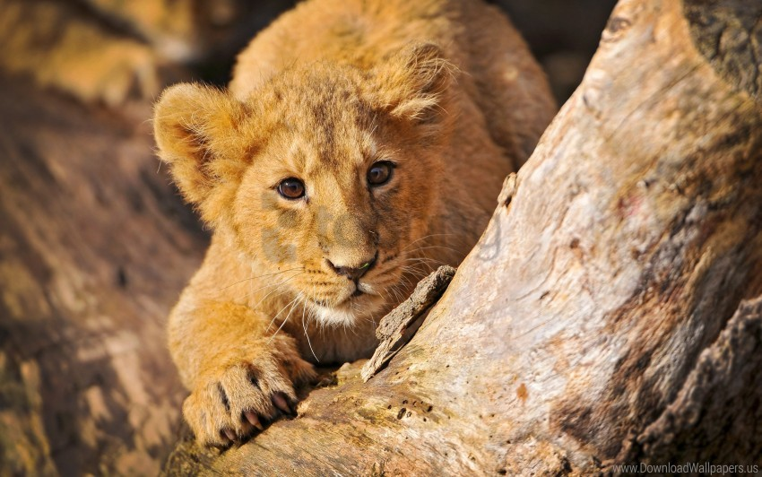 free PNG crawl, hide, lion cub wallpaper background best stock photos PNG images transparent