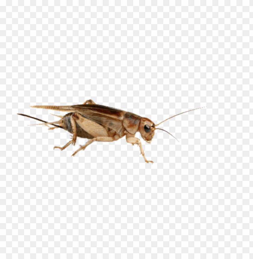 free PNG Download cricket insect high quality png png images background PNG images transparent