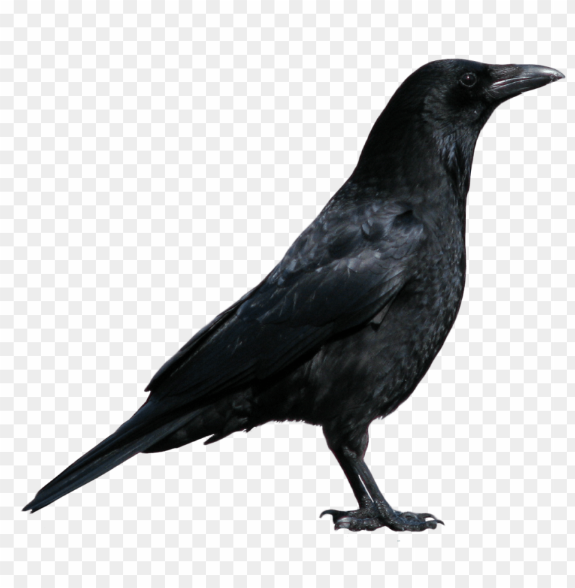 free PNG Download Crow png images background PNG images transparent
