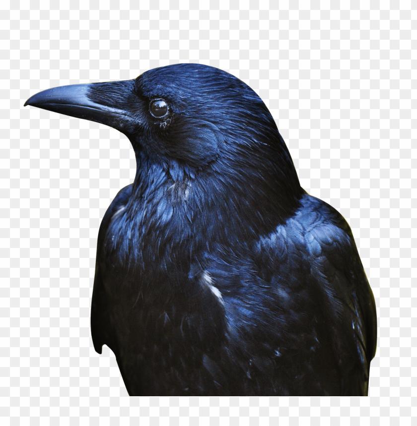 free PNG Download crow black png images background PNG images transparent