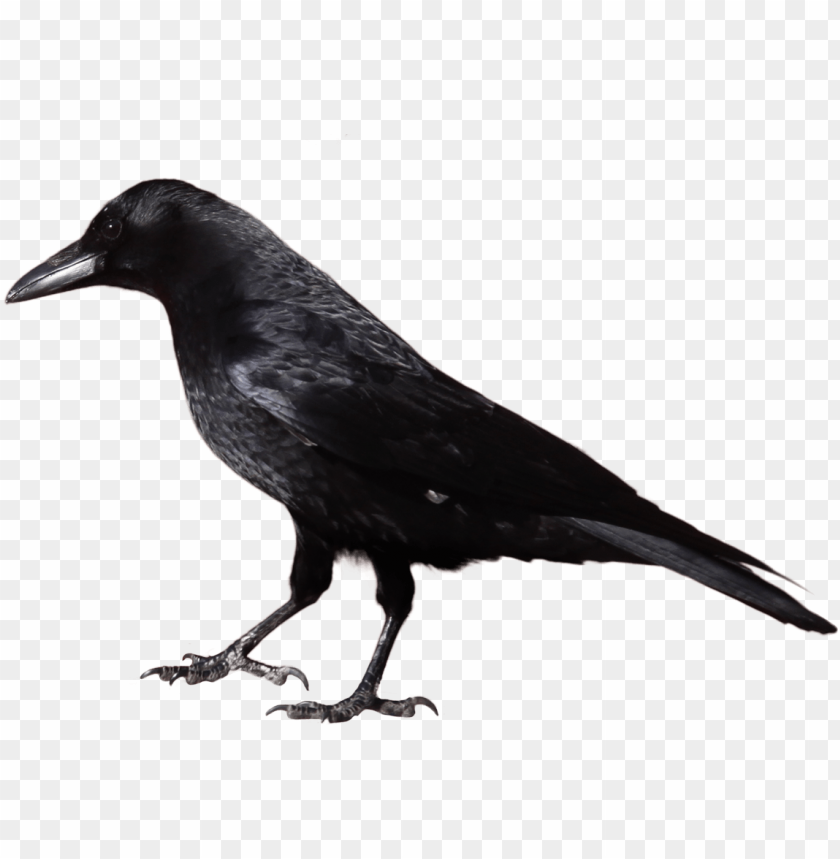 free PNG Download crow from side png images background PNG images transparent