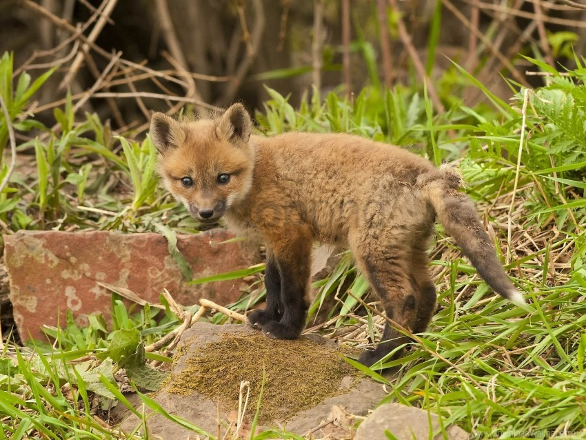 free PNG cub, fox, grass, young fox wallpaper background best stock photos PNG images transparent