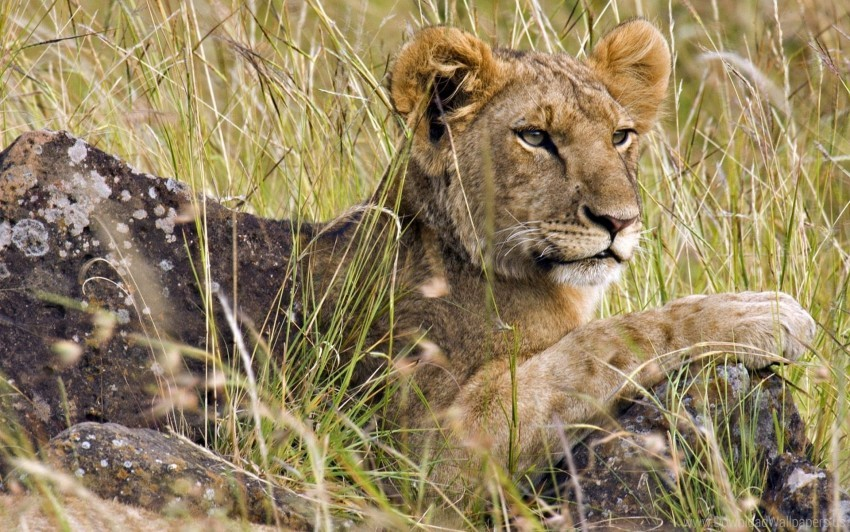free PNG cub, grass, hunting, lion, sit wallpaper background best stock photos PNG images transparent