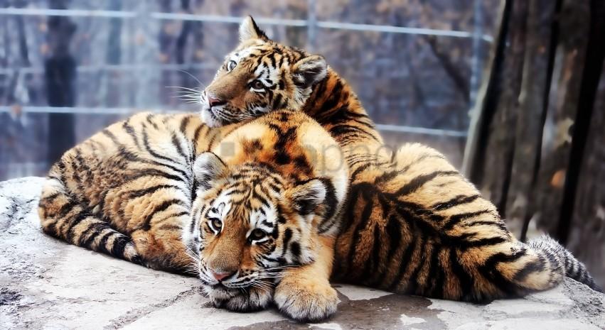free PNG cubs, panthera tigris altaica, siberian tiger wallpaper background best stock photos PNG images transparent