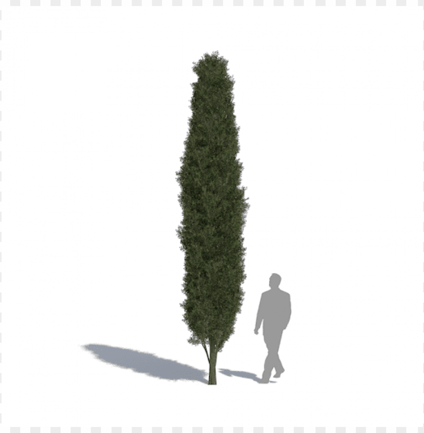 free PNG cupressus sempervirens PNG image with transparent background PNG images transparent