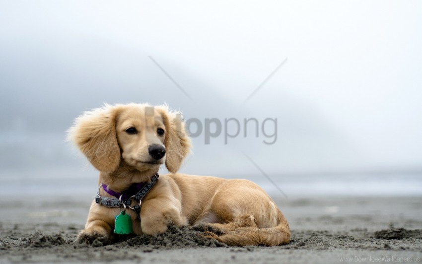 free PNG curiosity, dog, dog collar, ears, lies, puppy wallpaper background best stock photos PNG images transparent