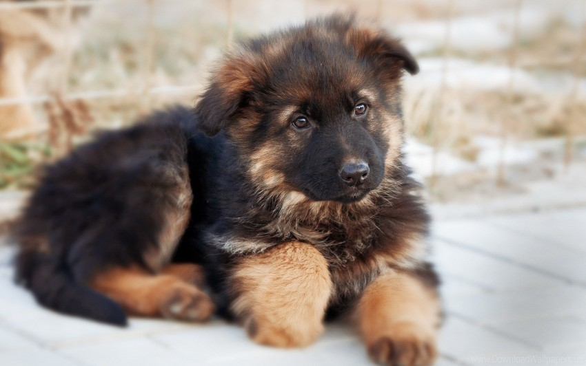 cute, dog, german shepherd, puppy