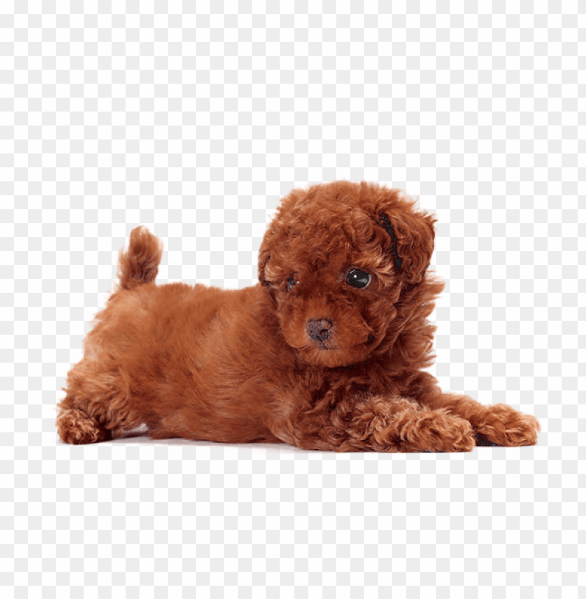 free PNG cute dogs that dont shed PNG image with transparent background PNG images transparent
