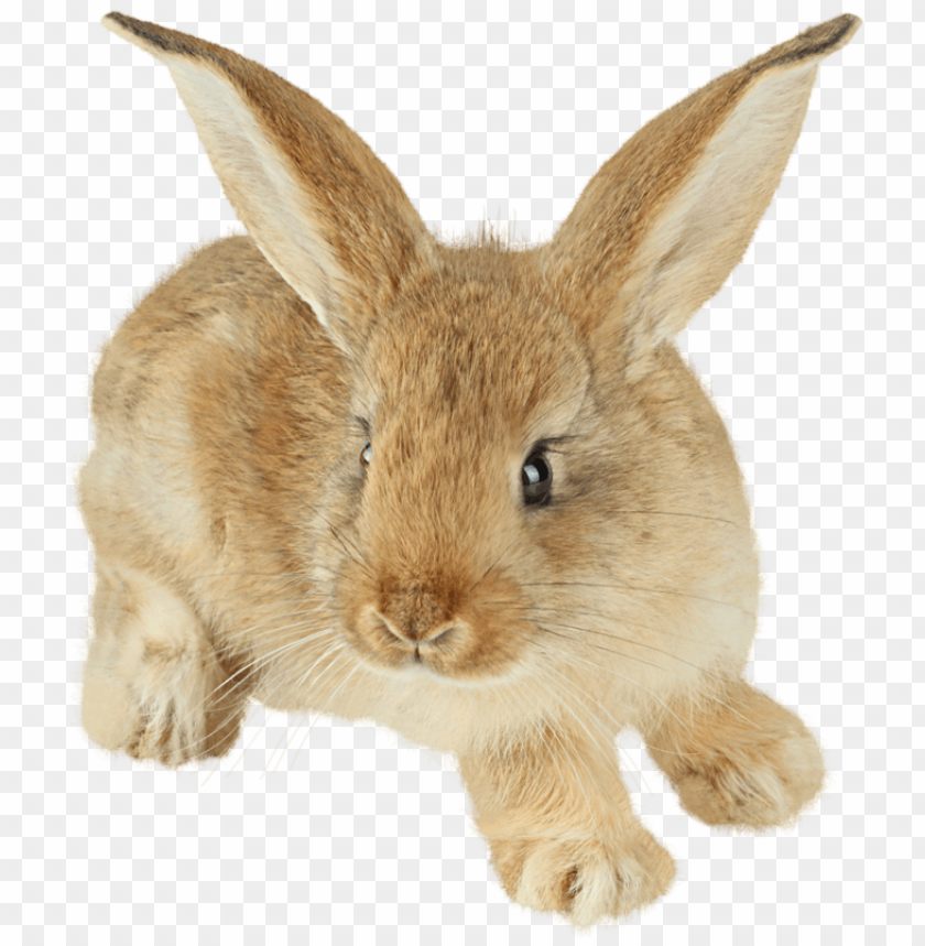 free PNG Download cute rabbit with enormous ears png images background PNG images transparent