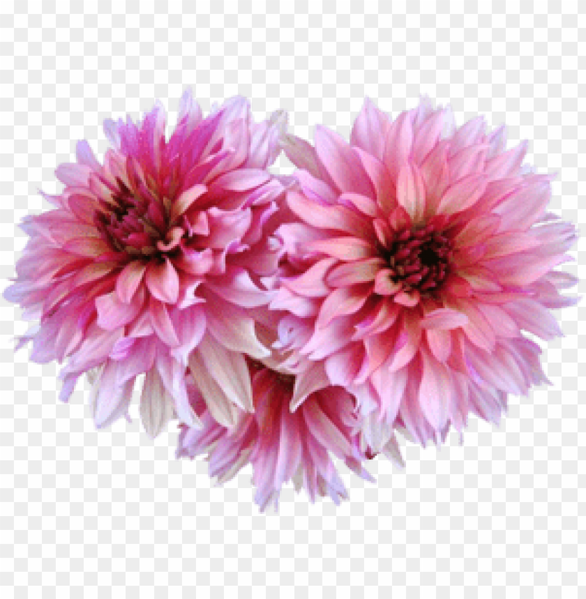 free PNG Download dahlia png images background PNG images transparent