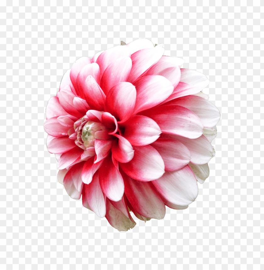 free PNG Download dahlia png images background PNG images transparent
