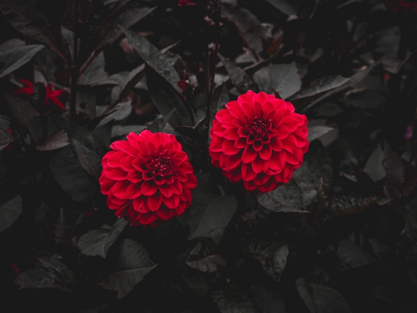 free PNG dahlia, buds, red, bush, leaves, bloom background PNG images transparent