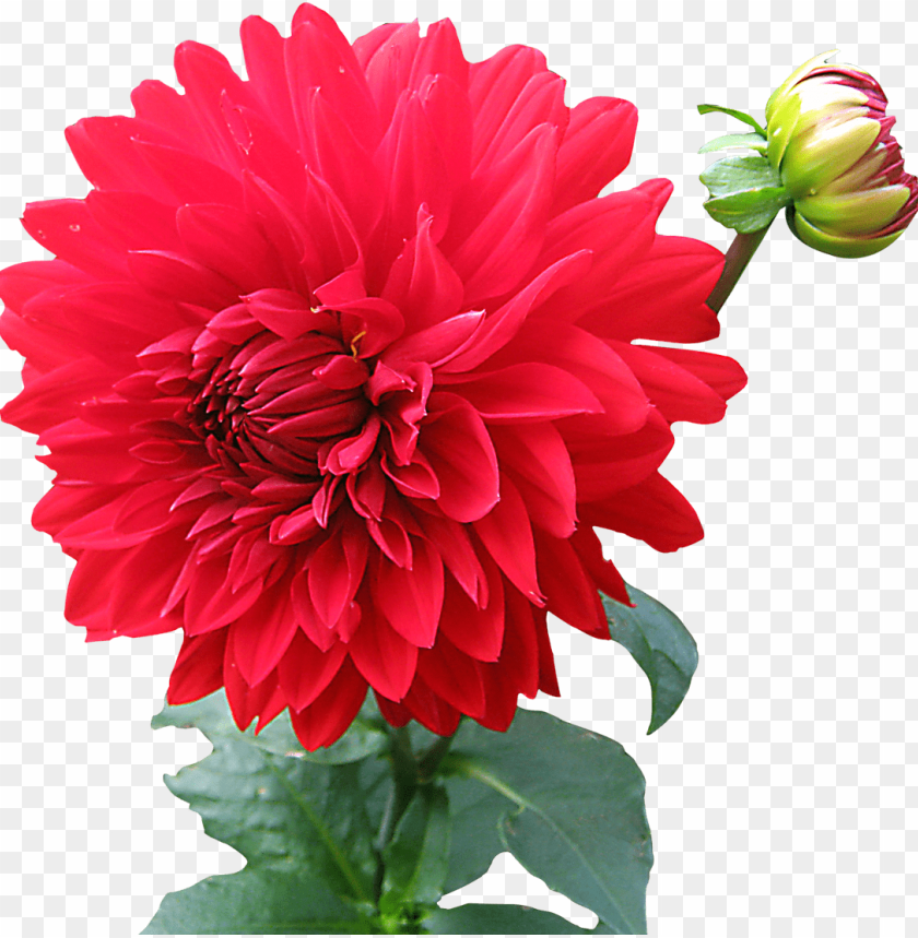 Download Dahlia Flower Png Images Background Toppng