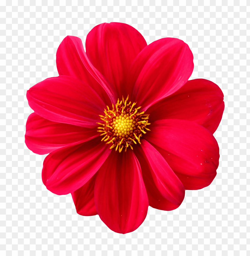 free PNG Download dahlia flower png images background PNG images transparent