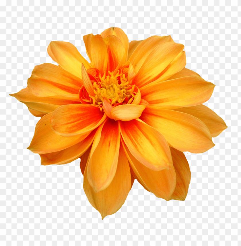 free PNG Download dahlia flower png images background PNG images transparent
