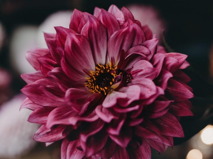 free PNG dahlia, flower, pink, bloom, closeup background PNG images transparent