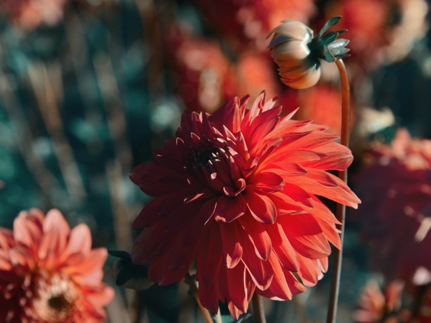 free PNG dahlia, flower, red, bloom, closeup background PNG images transparent