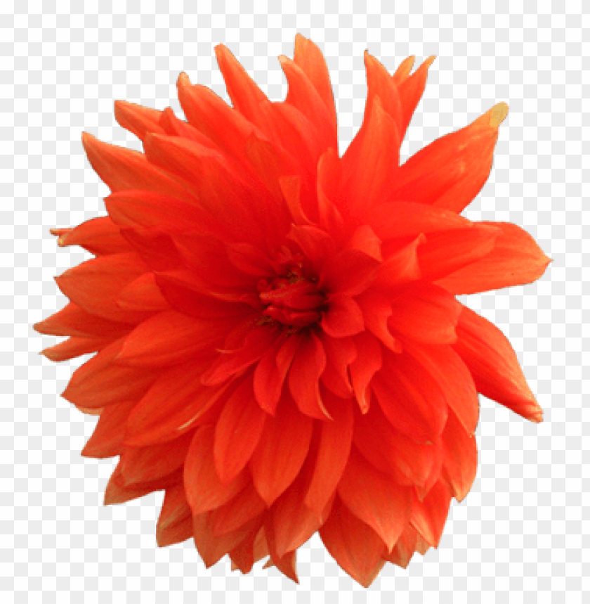 free PNG Download dahlia png pic png images background PNG images transparent